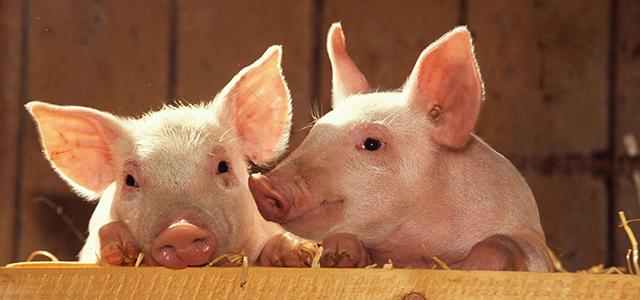 你知道吗?空气能热泵采暖猪儿也很喜欢……