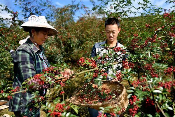 最新消息! 今年重庆江津区花椒采摘收购时间已确定